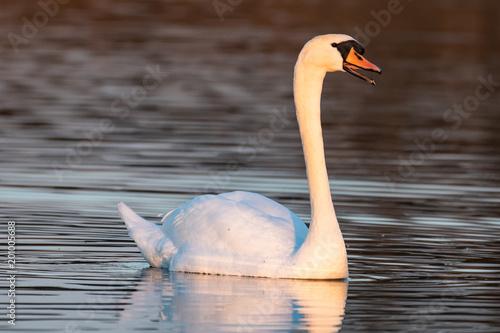 Staande foto Zwaan Swan swimming on a lake