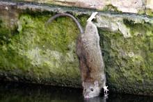 Single Brown Rat At A City Par...
