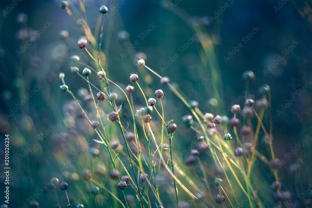 Fototapety, obrazy: flax field in the evening sun