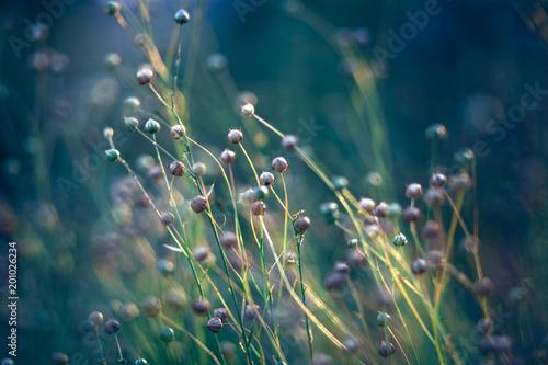 In de dag Weide, Moeras flax field in the evening sun