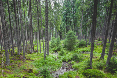 Canvas Prints Road in forest Coniferous forest