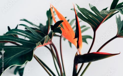 Fotografie, Obraz  Exotic tropical flower strelizia and xanadu leaves on white background
