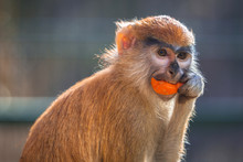 Patas Monkey Eating Carrot