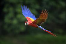Scarlet Macaw - Ara Macao, Lar...
