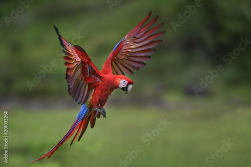 In de dag Papegaai Scarlet Macaw - Ara macao, large beautiful colorful parrot from New World forests, Costa Rica.