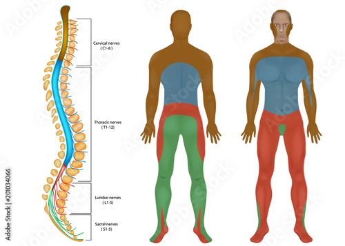 Spinal Nerves Chart Spinal Cord Peripheral Nervous System Spinal