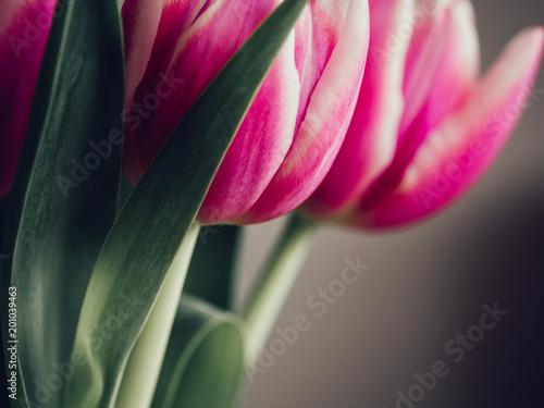 Zdjęcie XXL Prosty bukiet tulipany przeciw neutralnemu tłu