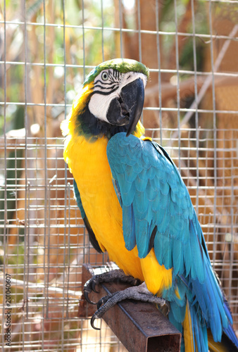 Foto op Canvas Papegaai blue and yellow parrot, ara ararauna