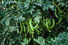 Branches With Green Carob