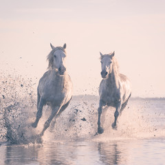 Fototapeta Do hotelu Beautiful white horses galloping on the water at soft sunset light, Parc Regional de Camargue, Bouches-du-rhone department, Provence - Alpes - Cote d'Azur region, south France
