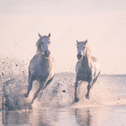 Fotografia Beautiful white horses galloping on the water at soft sunset light, Parc Regiona