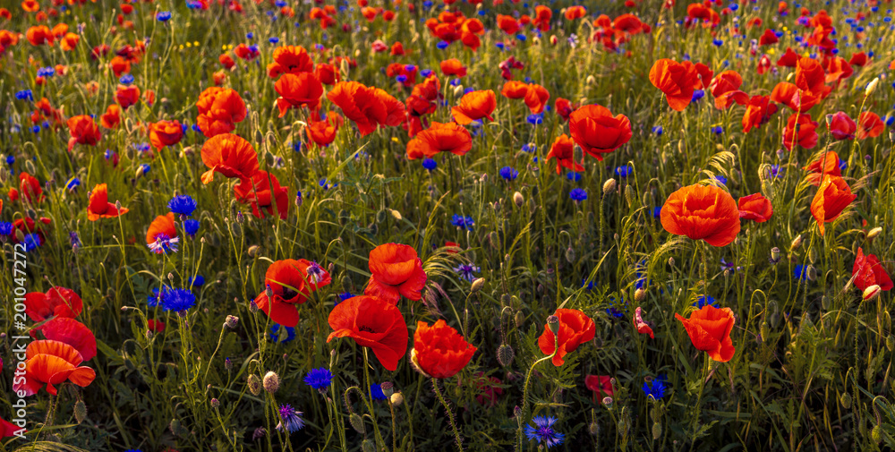 red, wild poppies in the meadow in the light of the setting sun
