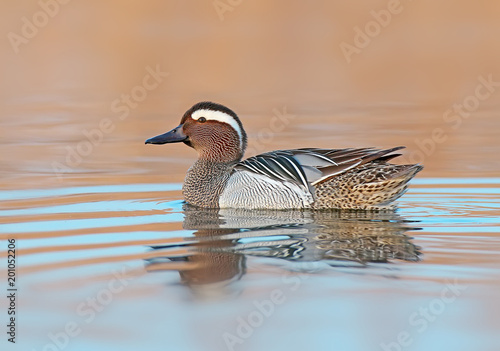 Adult male garganey floats in the water and looks at the camera in the time befo Wallpaper Mural