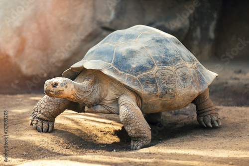 Poster Tortue Galapagos tortoise