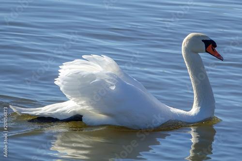 Staande foto Zwaan A beautiful white swan swimming gracefully