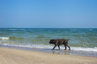 Happy huge dog walks alone at sandy beach.