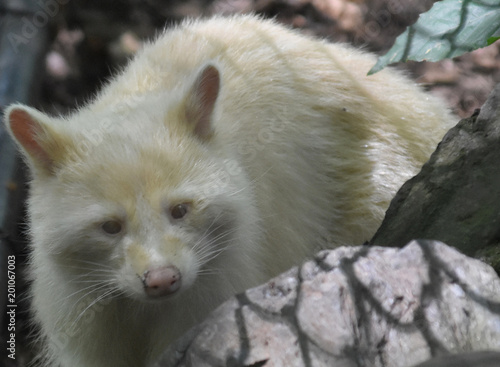 Unusual and Rare Albino Raccoon Face - Buy this stock photo