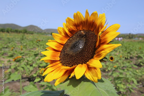 Plakat rubinsunflower2