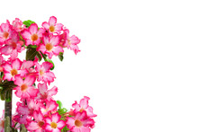 Pink Flower, Mock Azalea Isolated On White Background ( Impala Lily Or Desert Rose )
