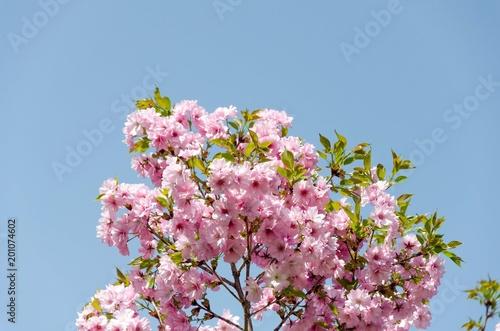Foto op Plexiglas Magnolia Blooming cherry blossom tree branch on blue sky