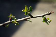 Columnar Apple Tree Begins To ...