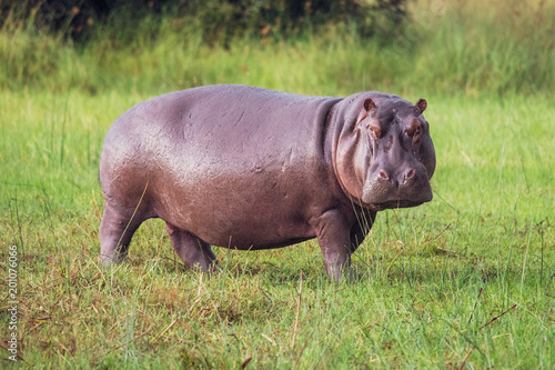 Valokuvatapetti Hippo on the run on land in the Masai Mara National Park in Kenya (Hippopotamus