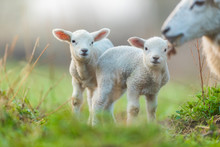 Cute Young Lambs With Their Mo...