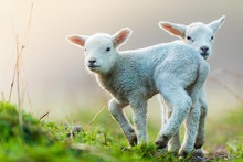 Cute Young Lambs On Pasture, Early Morning In Spring.