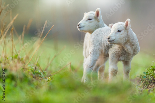 Fototapeta Cute young lambs on pasture, early morning in spring.