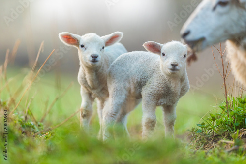 Fotobehang Schapen Cute young lambs with their mother on pasture