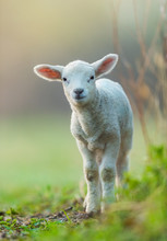 Cute Young Lamb On Pasture, Ea...