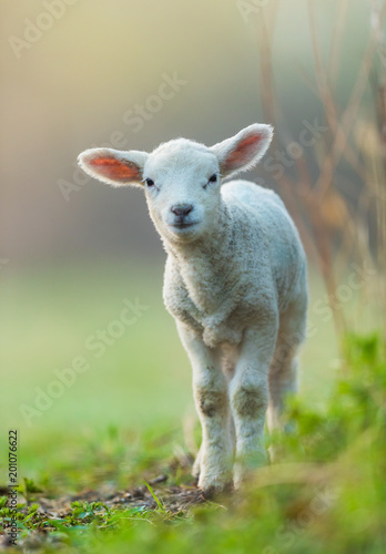 Foto Cute young lamb on pasture, early morning in spring.