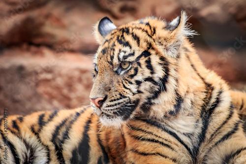 Fotografie, Obraz  Sumatran Tiger (Panthera tigris sumatrae) cub
