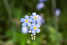 .Flowers Myosotis Alpestris In...