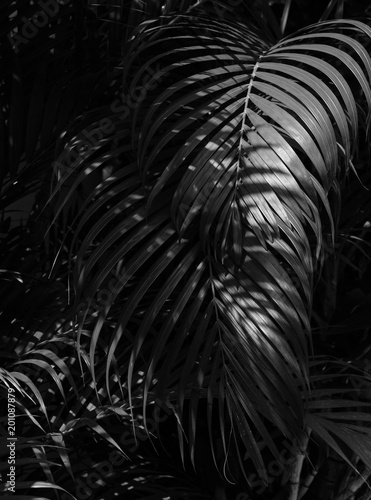 palm leaf in the forest - monochrome
