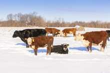Beef Cattle Sunning And Eating...