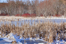 A Frozen Marsh With Cattails In The Forefront And Colorful Red Dogwood And Trees In The Background With Snow.