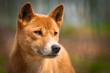 Close Portrait Of Dingo, A Dog...