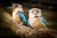 Kingfisher, Dacelo Leachii, Ko...