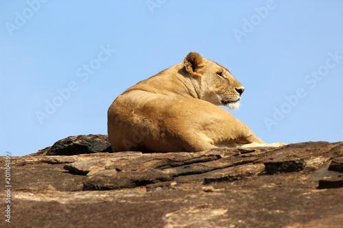 Fototapety, obrazy: Lioness
