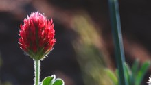 Clover Red