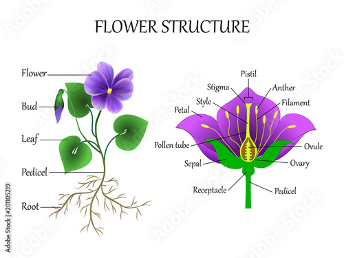 Fotografie, Obraz  Vector education diagram of botany and biology, the structure of the flower in a section