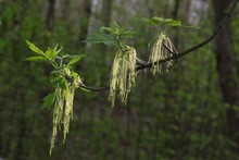 Box Elder Tree With Flowers Cl...