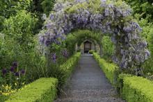 Wisteria Flowers Arch In The G...