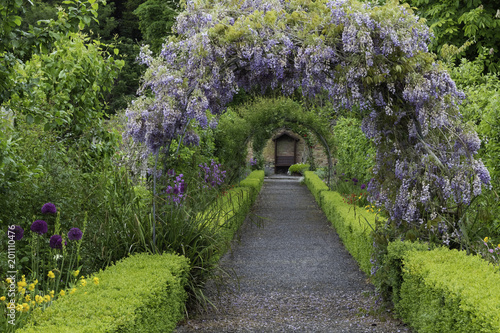 Photo  Wisteria flowers arch in the garden