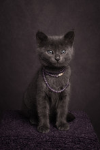 Posh Grey Russian Blue Kitten Wearing Neckless In Studio Portrait In Painterly Rembrandt Style