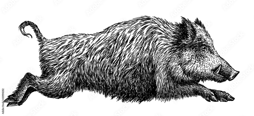 Fototapeta black and white engrave isolated pig illustration