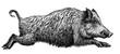 Leinwandbild Motiv black and white engrave isolated pig illustration