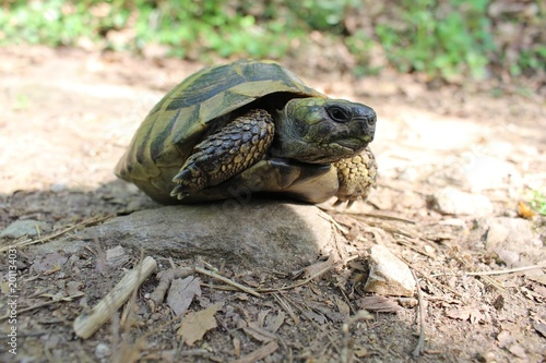 Poster Tortue Turtle in the woods near Petrich