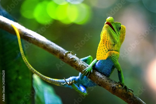 Poster de jardin Cameleon Chameleon in a natural environment in the forest of Sri Lanka